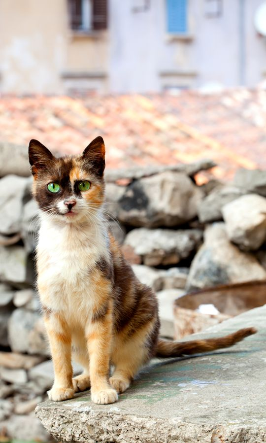 Bright Green Eyes Calico - Cat Smirk | Cute Animals ...
