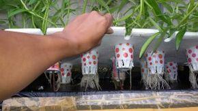 Cara Sederhana Menanam Kangkung Hidroponik