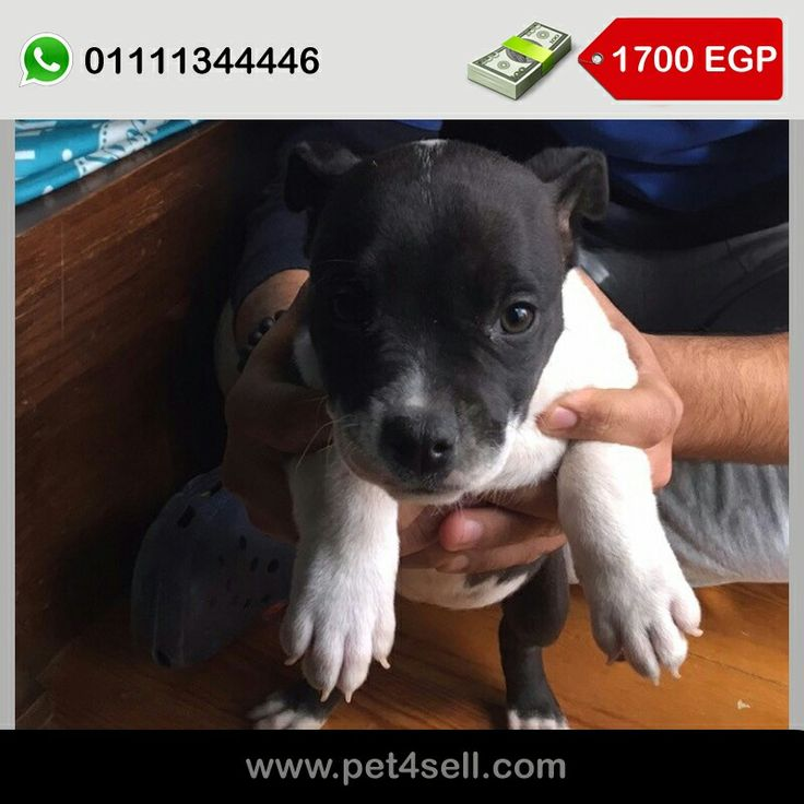 Pitbull puppies 3 males and 2 females Cairo  #pet4sell