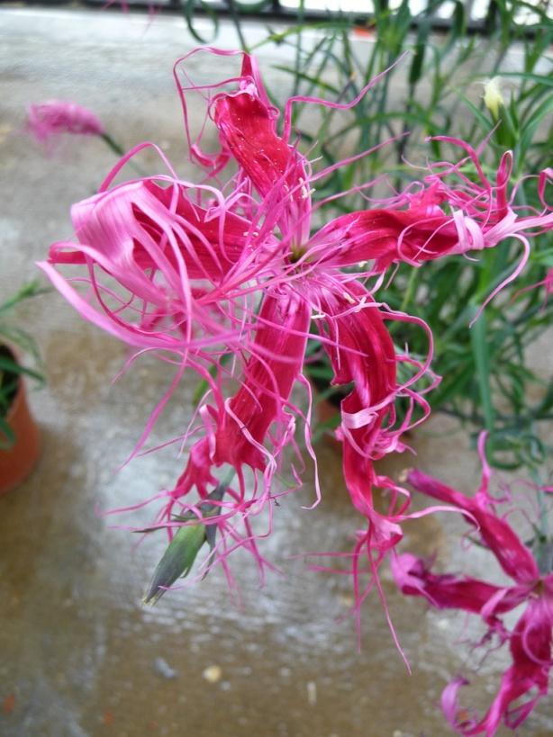 Oeillet de chine dianthus chinensis 39 dancing geisha 39 sur mon balcon en d but d 39 t paris 19e - Oeillet de chine ...