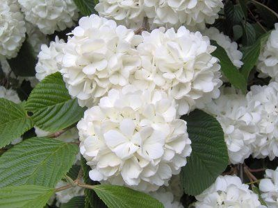"""Common Snowball Viburnum """"Viburnum Opulus"""