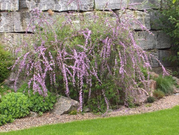 Buddleja alternifolia - JUST PLANTED ONE IN THE BACK GARDEN.
