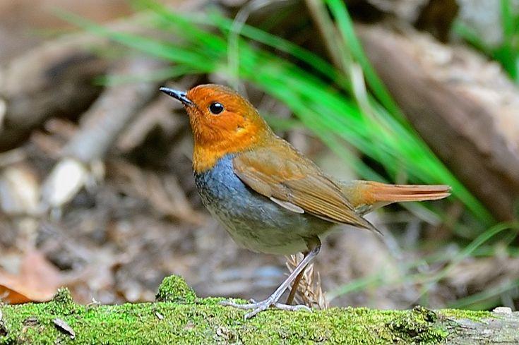쓰리 박 의 탐조 기행 :: 붉은 가슴 울새 (271) Japonés Robin Vag / Erithacus akahige