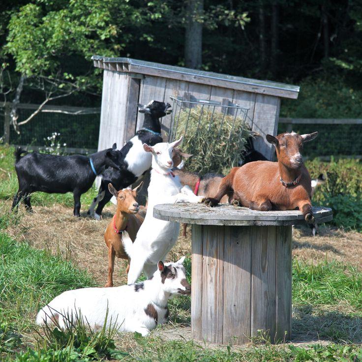 778 Best Goat Farm Images On Pinterest: 94 Best Images About Barnyard- Goats On Pinterest