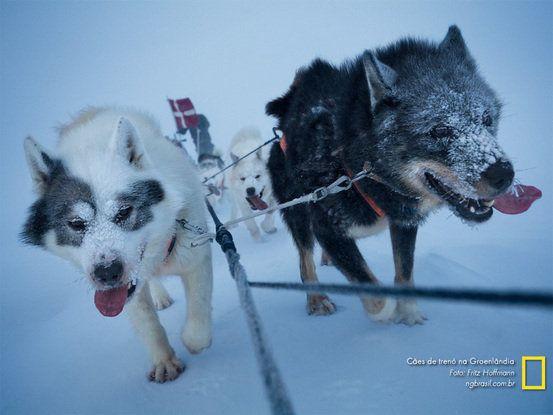 Cães de trenó da Groenlândia -Papéis de parede