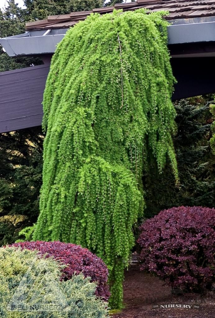 85 best conifers images on pinterest landscaping ideas for Weeping evergreen trees for small gardens
