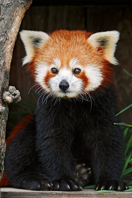 Red pandas are seriously endangered because humans are cutting down bamboo which is what the eat and are hunting them for there pelts please raise awareness by re pinning a picture of a red panda saying what I'm typing about right here thanks