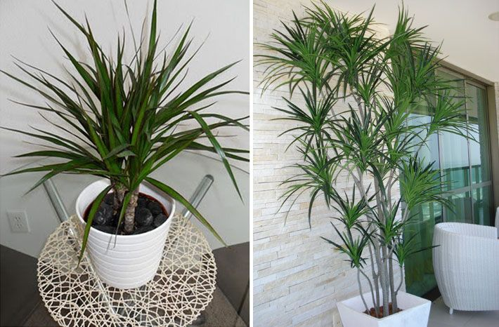 dracena, Plantas para dentro de casa