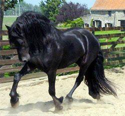 caballo frison - Buscar con Google                                                                                                                                                                                 Más