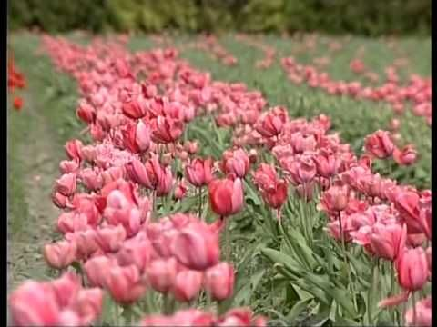 Tulips and daffodils galore at Hadstock Farm