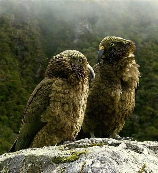 Kea New Zealands native Parrot. These magnificent cheeky birds can be found in the high country of the South Island. They can tear a car apart easily, natures vandals. Image via google copyright owner
