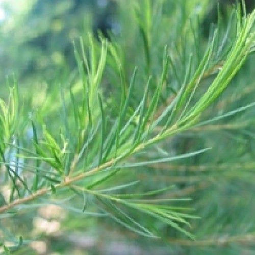 Tea Tree SPECIAL OFFERS : UP TO 25% PRICE REDUCTIONS : OPTIONS 10ml, 50ml, 100ml