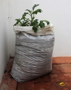 Qué te parece cultivar patatas en sacos, Â¡Así de fácil!                                                                                                                                                                                 Más