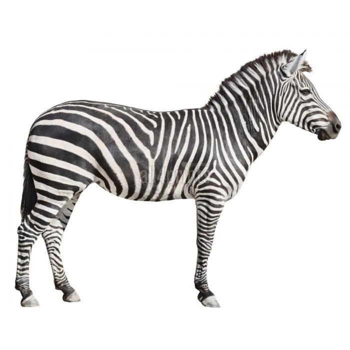 zebra white background - Google Search
