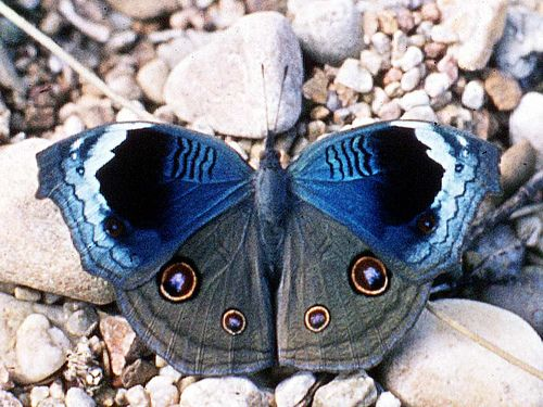 The African Pansy or Commodore butterfly --  Junonia artaxia, Tanzania