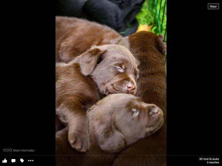 17 Beste Afbeeldingen Over Puppies Puppy S Op Pinterest
