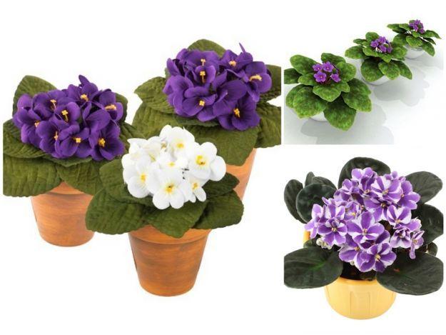 Kwiaty proste w uprawie. Fiołek afrykański