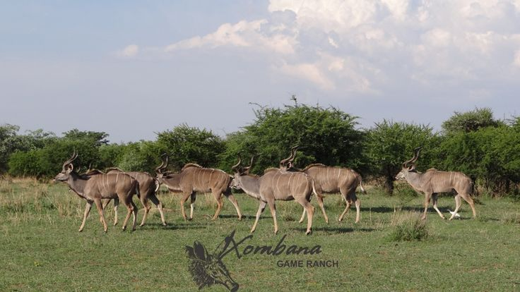 Photo of the day TOUCH this image: Kudu Bulls - DinokengGameReserve by Xombana