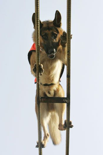 Training - Don't look down, boy! #germanshepherds #dogs