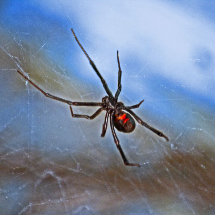 Do you think Black Widow Spider deserves to win 2013 - 2014 Arizona Highways Online Photography Contest? Have your say!