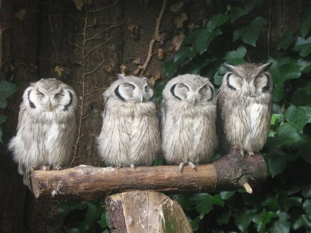 ZZZZleeping owls - Pixdaus