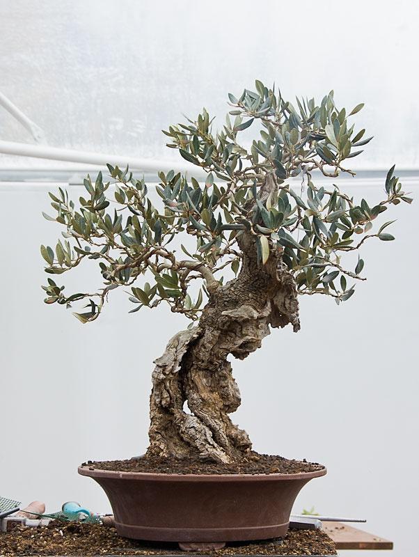 ~ Olea europaea / Olive ~ Bonsai ~