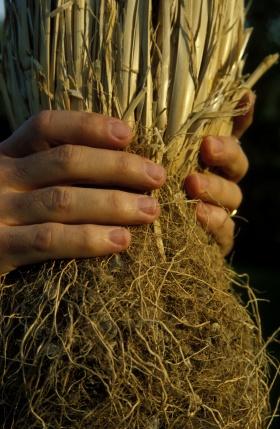 Vetiver Root #dailyconceptive #diarioconceptivo