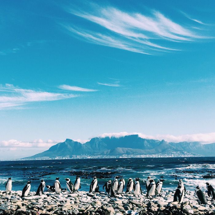 Penguins on Robben Island in Cape Town, South Africa