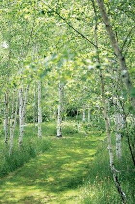 Finland - A lush path through the birch wood.