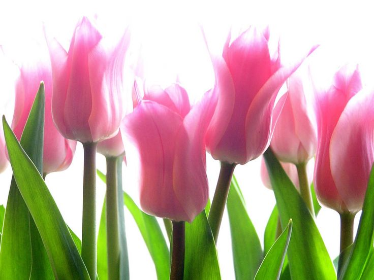 Pink Tulip Flower Pictures - 2013 Wallpapers