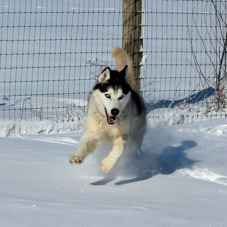 Siberian Husky loving the snow via Raven's Husky Haven Siberian Husky Rescue.