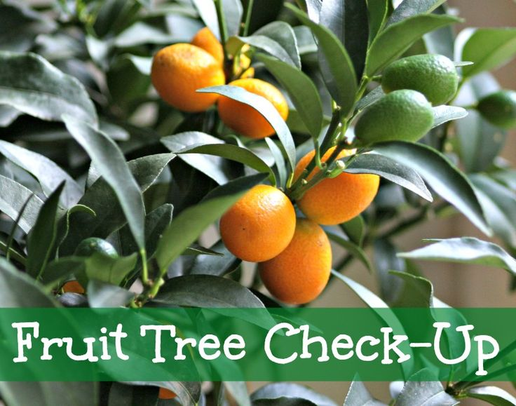 FRUIT TREE CHECK UP. How to prune your fruit trees. How to prune citrus trees. When to fertilize and mulch your free trees and check them over for bugs and critters. #fruittrees #fruit #tree #brisbane