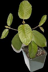 Is buying kratom plants a viable option for growing your own supply of the popular herbal medicinal? There are many advantages to growing the foods you eat
