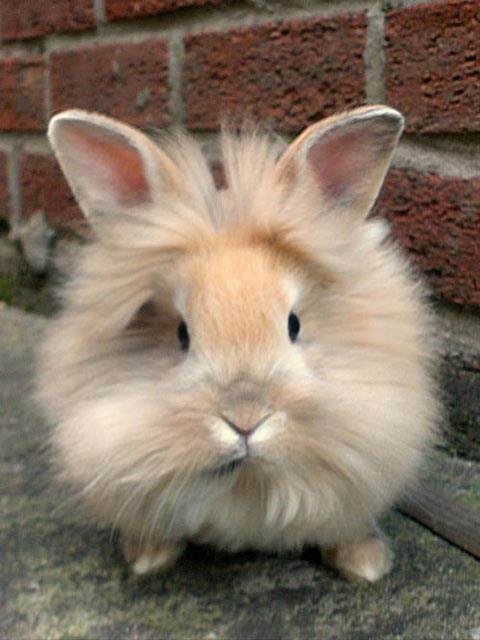 Lionhead bunny...I NEED to get one for Kerri, and name him Simba!