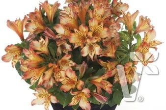402000 Alstroemeria x hybrida Inticancha® Bryce