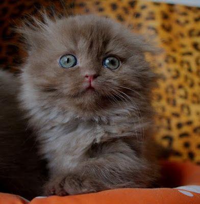 Britisch Kurzhaar (BKH) Kitten und Britisch Langhaar Katzenbabys