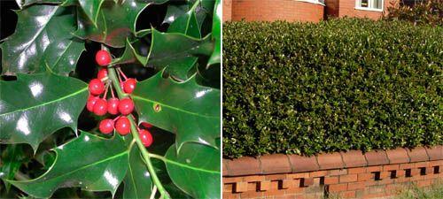 English Holly Hedge (Ilex Aquifolium) - Hedges Direct UK