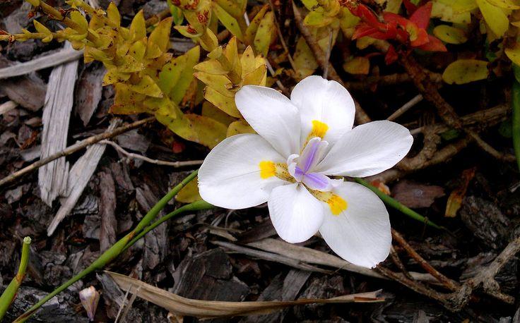Wild Iris ~ Dietes grandiflora