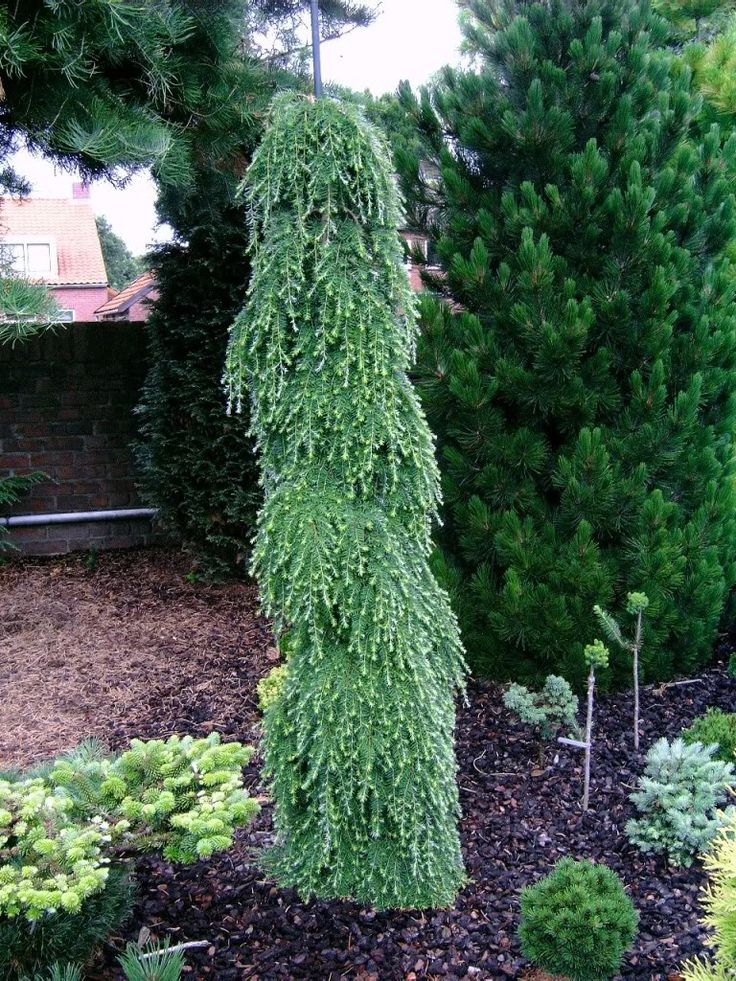 17 best images about evergreen profiles on pinterest for Green bushes for landscaping
