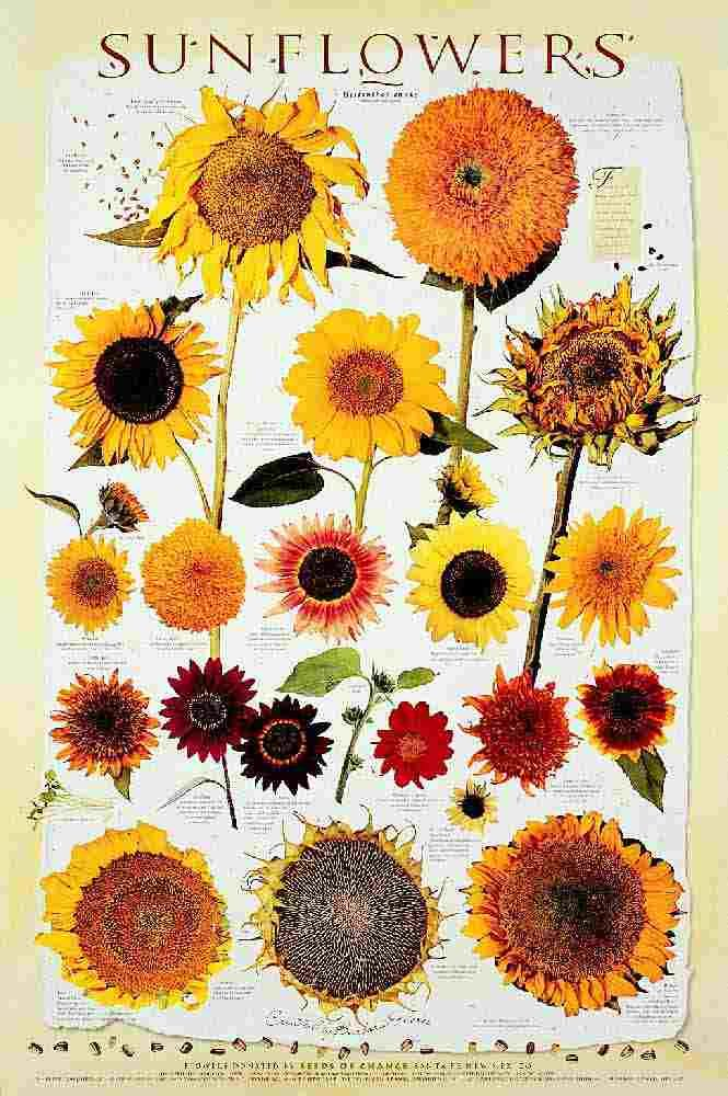 how to grow sunflowers from flower