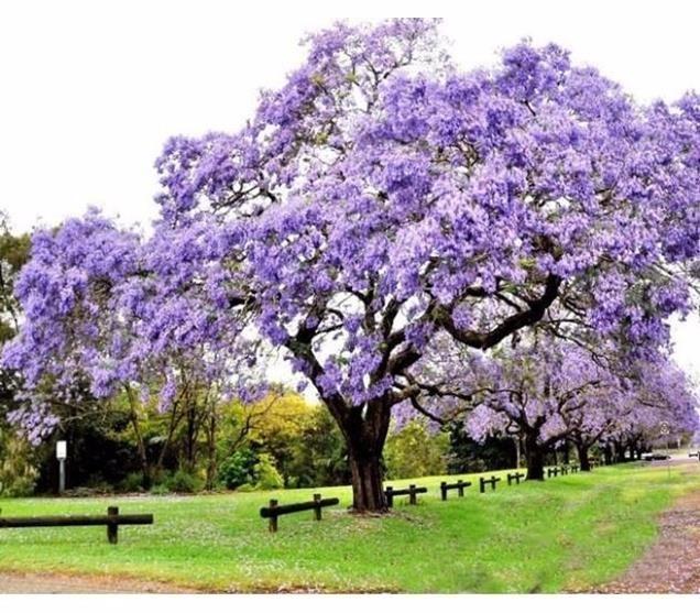 5 árboles De Sombra De Rápido Crecimiento árboles De Sombra Arboles Para Jardin Tipos De Arboles