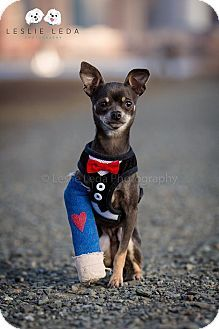 Pictures of Blue a Chihuahua for adoption in Verona, NJ who needs a loving home.