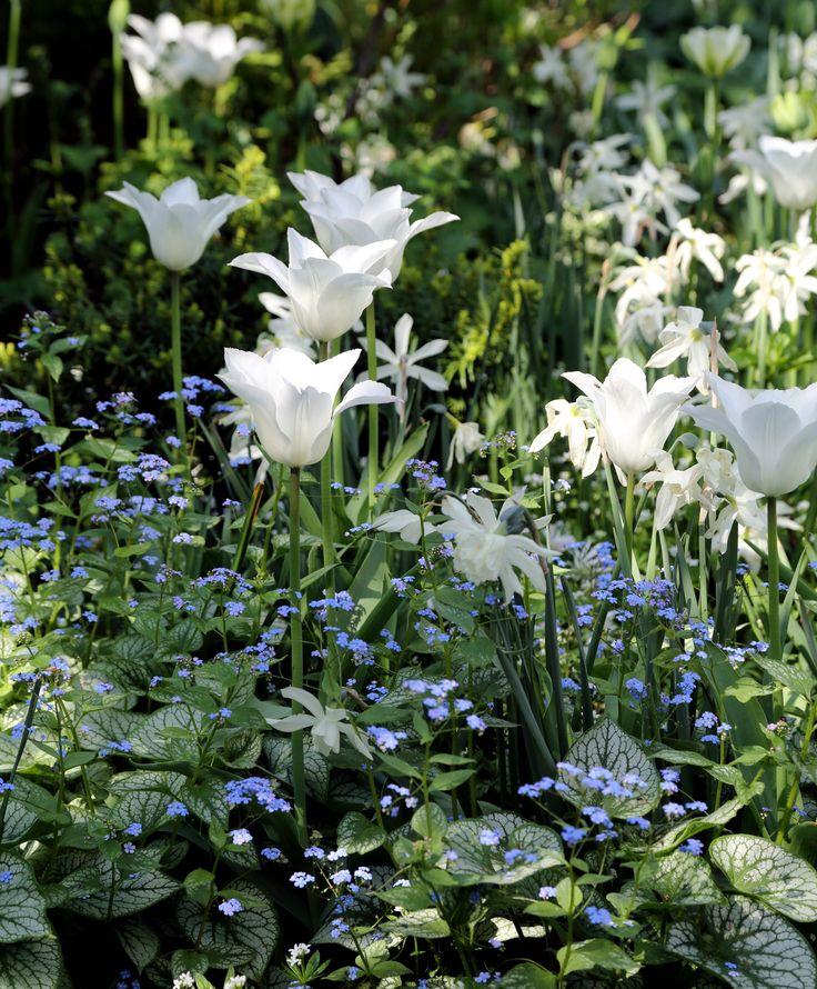 'White Triumphator' är en liljeblommande tulpansort i renaste vitt. Hög och så elegant! Blommar i maj-juni och kommer gärna igen. Vacker i samplantering med andra liljeblommande tulpansorter i rosa, ljust gult och mörkt violett. Här tillsammans med narcisser, förgätmigej och myskmadra.