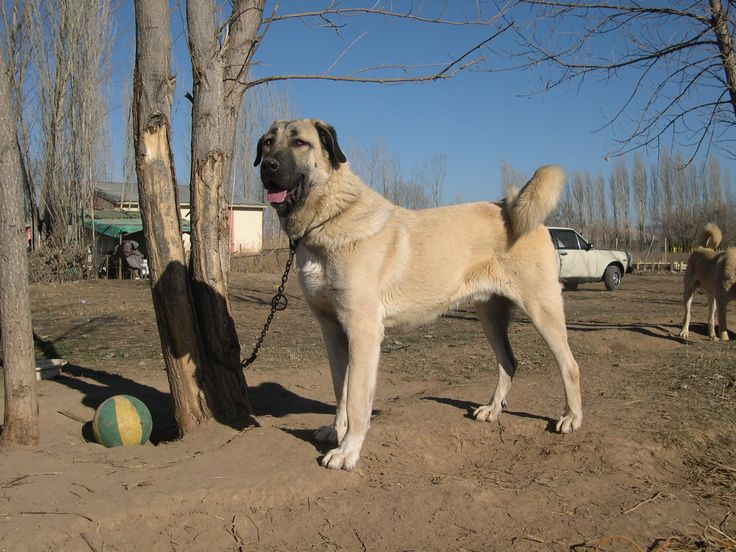 kurdish kangal kangal dog anatolian sheepdog pinterest dogs and kangal dog. Black Bedroom Furniture Sets. Home Design Ideas