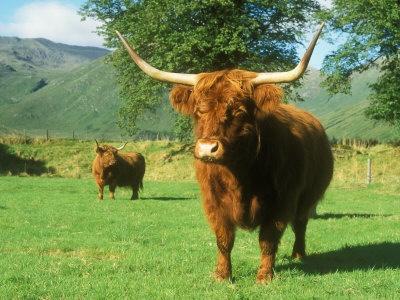 large highland oxen   Scottish+highland+cattle+for+sale+in+oregon