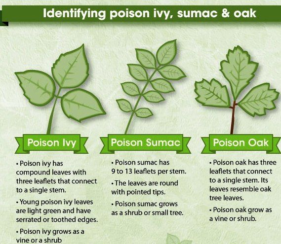 how to identify poison ivy sumac amp oak good to know