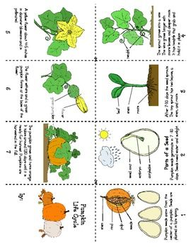 Plant Life Cycle Lesson Plans Second Grade - bean plant life cycles ...