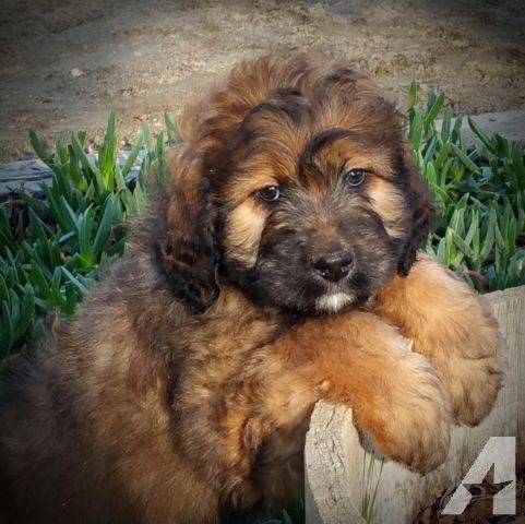 St Berdoodle puppies for Sale in Rancho California, California ...