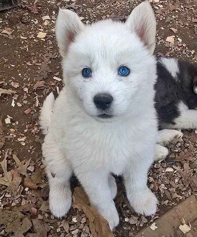 White Coat Blue Eyes Animals Puppy Sketch Puppies