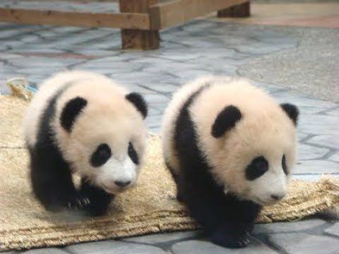 【飛び技連発!?w】同級生をたたき起こす赤ちゃんパンダ♪【早送りじゃないよw】Chengdu Base of Giant Panda - YouTube